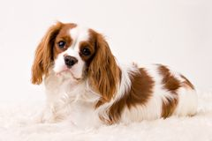 Puppy. Cavalier puppy in my studio Royalty Free Stock Photos