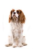 Puppy. Cavalier puppy in my studio Stock Photos