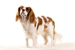 Puppy. Cavalier puppy in my studio Stock Photo