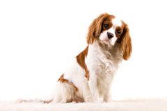 Puppy. Cavalier puppy in my studio Royalty Free Stock Image