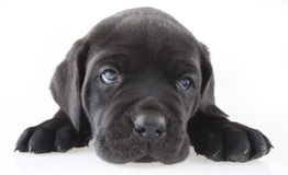 Puppy. In front of white background Royalty Free Stock Image