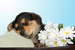 Puppy. A puppy is having a nap and is covered in daisies Stock Photo