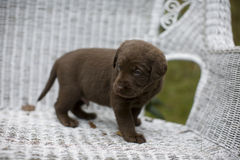 Puppy 2. A puppy on a Wicker Chair Stock Photography