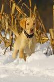 Puppy 2 van het laboratorium Royalty-vrije Stock Afbeelding
