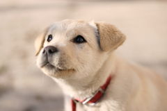 Puppy. Golden Labrador in detail with expressive eyes stock photography