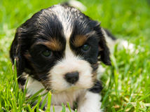 Puppy Royalty Free Stock Photos
