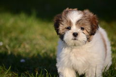 Puppy. White little puppy with green background Royalty Free Stock Photo