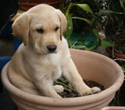 Puppy. Cute puppy sitting in planting pot Stock Photo