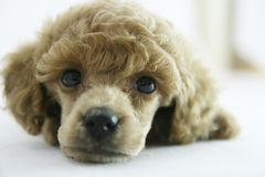Puppy. Lovely poodle puppy looking on the camera stock photography