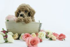 Puppy. Lovely poodle puppy spa flower royalty free stock photography