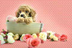 Puppy. Lovely poodle puppy spa flower royalty free stock images