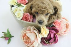 Puppy. Lovely poodle puppy spa flower royalty free stock photo