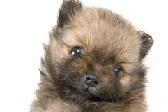 The puppy. Of the spitz-dog in studio Royalty Free Stock Photos