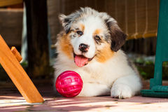 Puppy. Young puppy lying on the gound with its ball Stock Photo