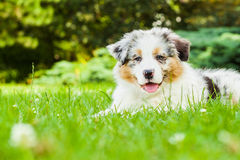 Puppy. Young puppy lying on fresh green grass in public park Royalty Free Stock Images