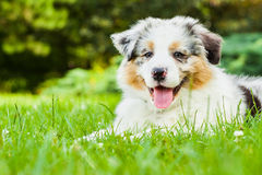 Puppy. Young puppy lying on fresh green grass in public park Royalty Free Stock Photos