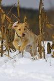 Puppy 3 van het laboratorium Stock Afbeelding