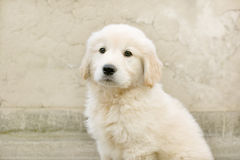 Puppy. Golden Retriever looking at the camera Royalty Free Stock Photos