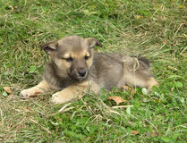 Puppy. Little puppy sitting in the green grass royalty free stock photos