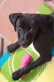 Puppy Stock Fotografie