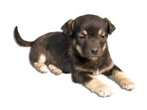 Puppy. A black puppy isolated on white background stock photos