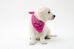 Puppy. Sweet retriever puppy looking away royalty free stock images