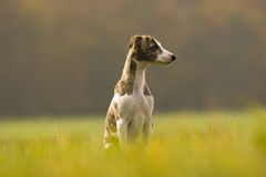 Puppy. Whippet puppy sitting on the field Stock Images