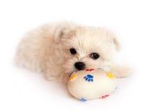 puppy Στοκ Εικόνες