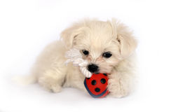 puppy Στοκ Εικόνα