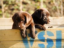 Puppy. The labrador dog outdoor Royalty Free Stock Image