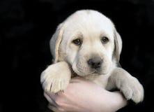 Puppy 6 van de labrador Stock Afbeeldingen