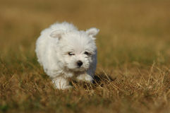 Puppy. A young puppy is running thrue the field Royalty Free Stock Image