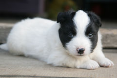 Puppy. Small puppy looking on the camera Stock Image