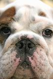Puppy. Sad puppy of the English bulldog Royalty Free Stock Images