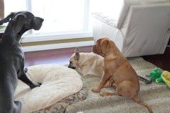 3 puppy Royalty-vrije Stock Afbeeldingen
