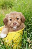 Puppy. Sits in pail on background of the herb Stock Photography
