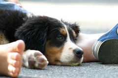 Puppy. Bernese mountain dog puppy stock photos