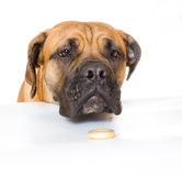 Puppy 8 months boerboel Royalty Free Stock Photography
