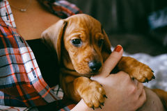 Puppy And. 8 weeks old smooth hair brown dachshund puppy resting in the hands of its female owner in a colourful plaid shirt royalty free stock images