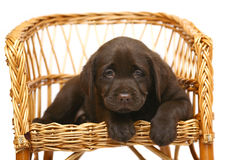 Puppy. Chocolate pup on a straw chair on a white background Stock Images