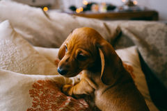 Puppy at Royalty Free Stock Photography
