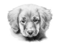 Puppy. Pencil drawing of the labrodor puppy Stock Image