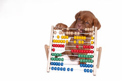 Puppy with Abacus. Puppy is learning to count with Abacus Royalty Free Stock Photography