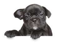 Puppy above white banner. French bulldog puppy above white banner Royalty Free Stock Images