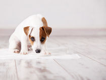 Puppy on absorbent litter Royalty Free Stock Photography