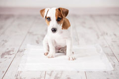 Puppy on absorbent litter Royalty Free Stock Image