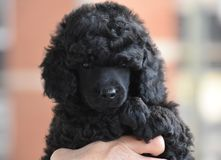 Puppy adorable gift poodle happines love animal Royalty Free Stock Photos
