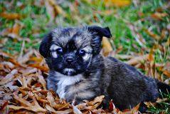 Puppy. Adorable Sable brown puppy with one perked ear plays in the leaves in fall Royalty Free Stock Photo