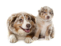 Puppy and adult australian shepherd Royalty Free Stock Photos