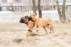 Puppy and adult  bullmastiff Royalty Free Stock Image